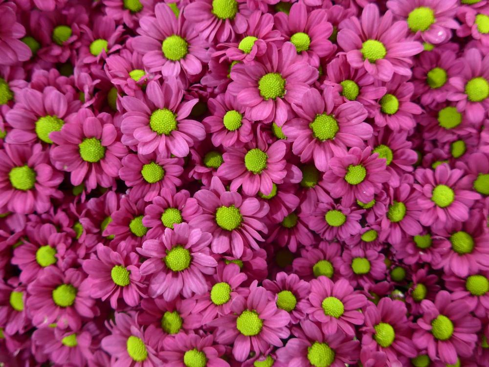 chrysanthemum-1140504_1920.jpg