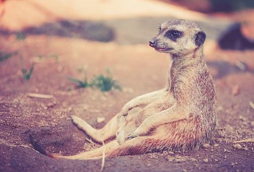 meerkat-459171__340.jpg