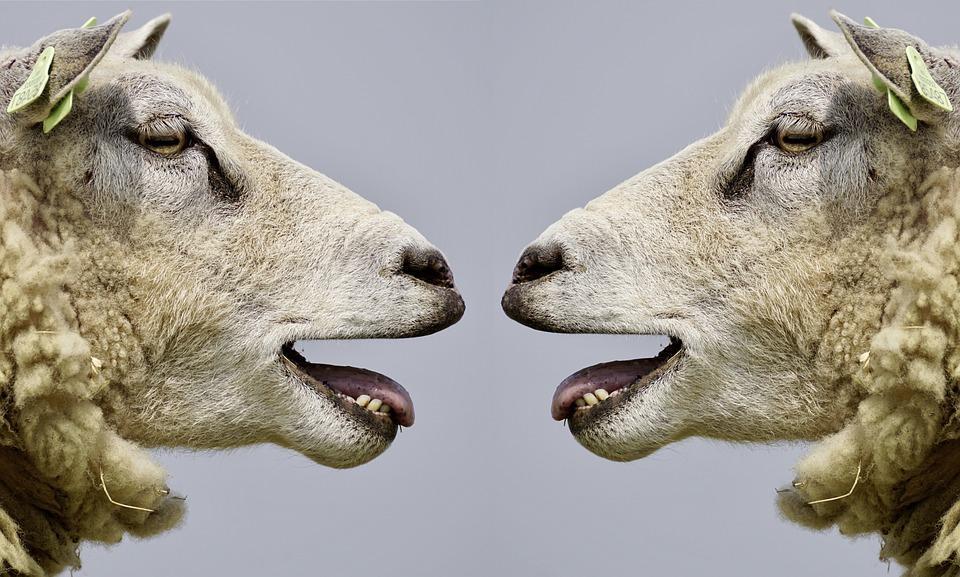 sheep-2372148_960_720.jpg