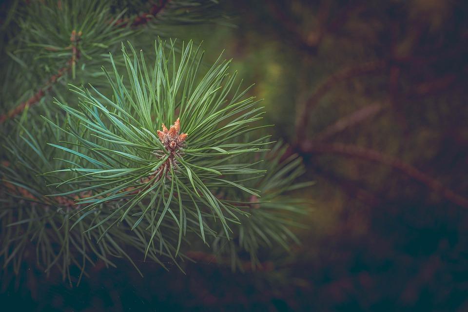 pine-463469_960_720.jpg